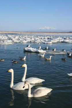 【景點】 千羽白鳥點濤沸-濤沸湖侯鳥過境越冬地