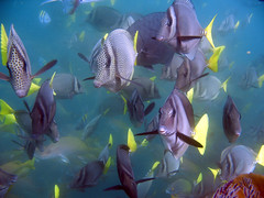 Yellowtail surgeonfish, Cabo San Lucas, Mexico photo by Hawkfish