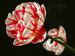 Showy Tulip photo by algo