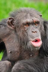 Vocalizing chimpanzee photo by Tambako the Jaguar