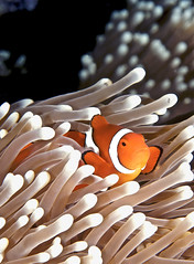 False Clown Anemonefish photo by melissa.fiene