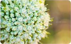 Allium Cepa (Onion) photo by isayx3