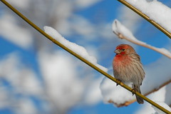Male House Finch background wallpaper photo by † David Gunter