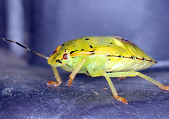 Green Stink Bug photo by Brian E Kushner