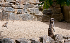 Meerkat, Paignton Zoo photo by Stuart-Saunders