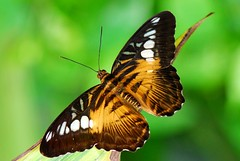 The Brown clipper butterfly, Parthenos sylvia photo by natureloving