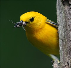 Prothonotary Warbler, male photo by asparks306