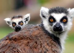 Ring tailed lemur photo by floridapfe