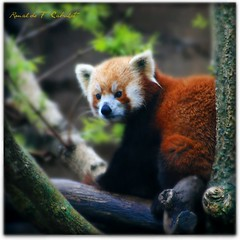 Red Panda photo by Ronaldo F Cabuhat