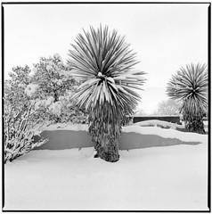 Yucca in Snow Storm photo by dbram