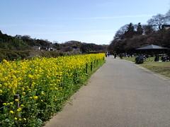 花島公園の菜の花