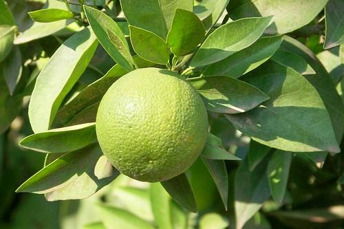 oranges Maroc