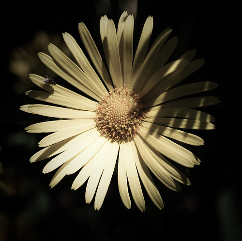 Daisy Flower Thing