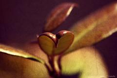Confederate Jasmine Leaf photo by rickm FL