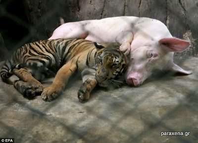 τιγρης-γουρουνι-φιλια-2