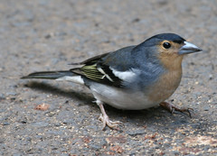 Canarian Chaffinch photo by Jacqui Herrington: