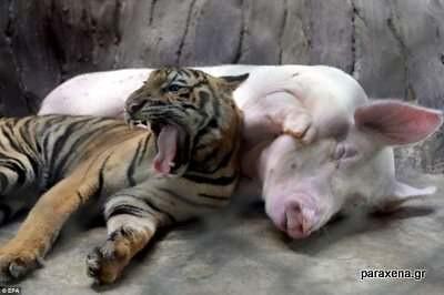 τιγρης-γουρουνι-φιλια-1