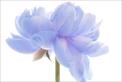 EXPLORED! Flower / blue flower / Natural light / nature / flower / blue / Peony photo by Bahman Farzad