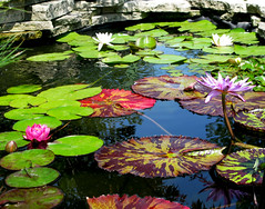Lily Pond - Meredith Corp Garden photo by Don3rdSE