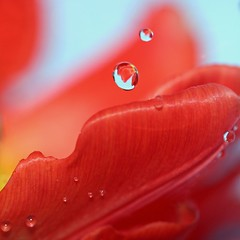 Tulip Drops photo by !.Keesssss.!
