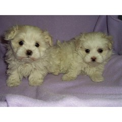 Maltipoo Puppies for Sale by Ching