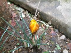 クロッカス(バイカラー)の開花