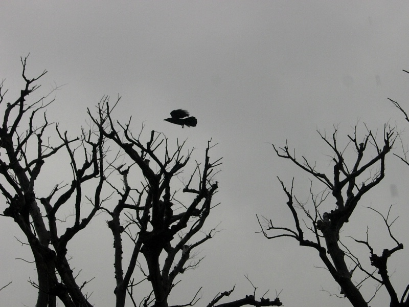 Freakingly HUGE crow