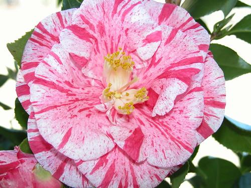 Tricolor - Camellia
