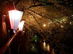 目黒川の桜 #1