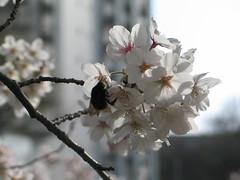 Sakura in TITECH Suzukake 2006