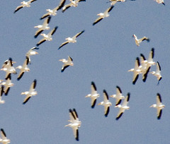 Pelicans (by Scott)