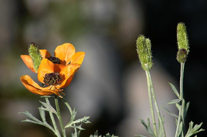 Orange Poppy || Click for previous photo