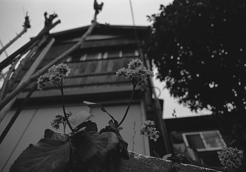 上を向いて花