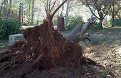Tree Down II