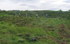 Penanaman rumput gajah di Tegal Tengah, Cijayana - 1