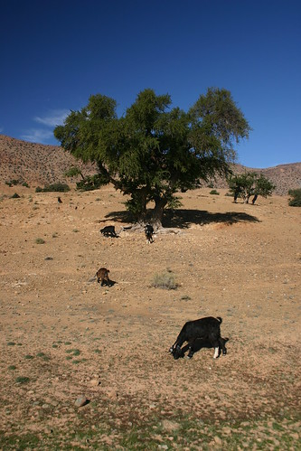 Goats along the Tiznit-Tafraoute-road
