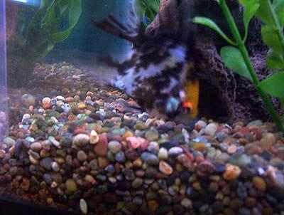 White wart on angelfish for Fish eye wart
