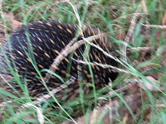 echidna eats shoots &leaves