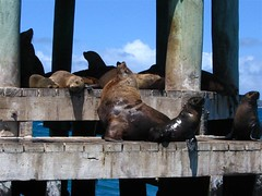 The seals in Port Phillip Bay