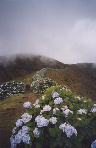 açores hortensias