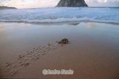 Tartaruga na Praia do Leao