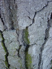Bark, showing fissures