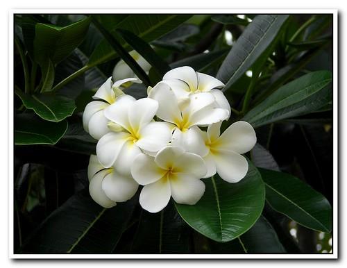 Плюмерия. Белая Плюмерия. Plumeria White.Экзотические цветы.