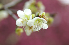 Plum Flowers photo by h orihashi