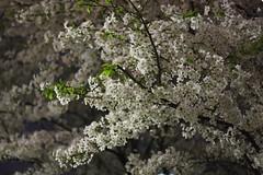 Yozakura/夜桜