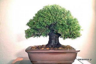 bonsai-trees-05