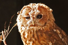 Tawny Owl photo by Picture Taker 2