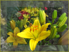 Yellow Lily photo by Tony / Guy@Fawkes