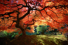 Beautiful Japanese Maple by ** Krissy **
