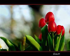 Tulipani photo by sirVictor59